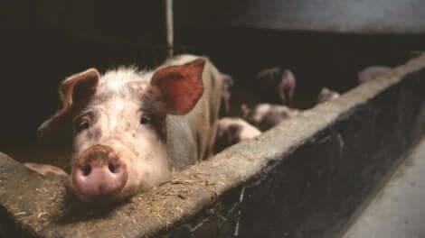 Un porc dans une ferme.