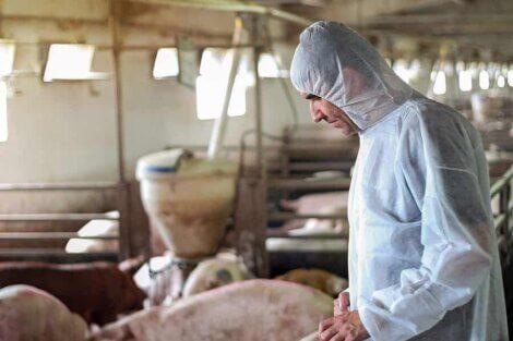 Un agriculteur avec des porcs.