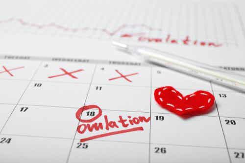 L ovulation sur le calendrier.