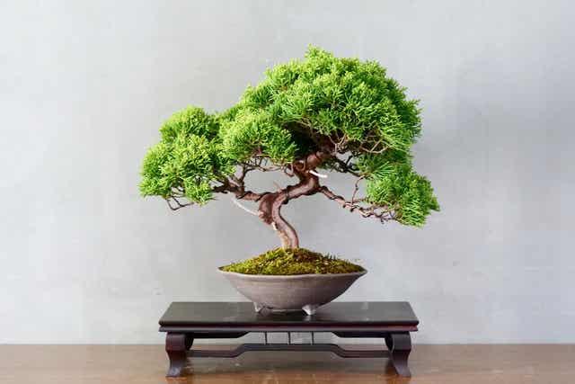 Un bonsaï japonais.