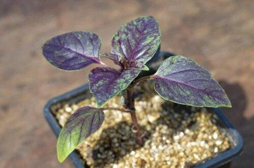 Une plante violette dans un pot avec de la perlite.