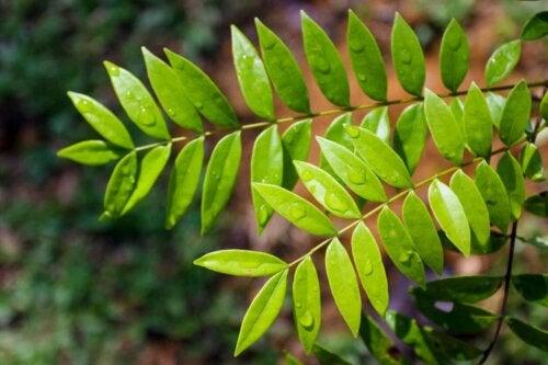 Des feuilles de tongkat ali.