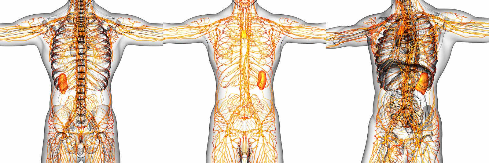 système lymphatique système circulatoire