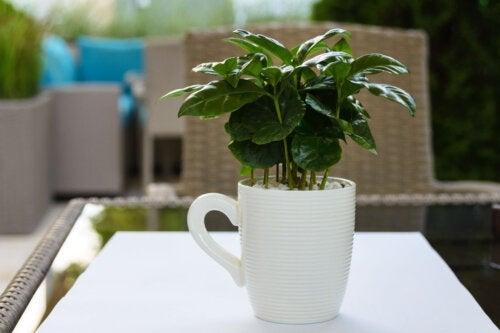 Peut-on faire pousser du café à la maison ?