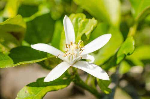 Les bienfaits de la fleur d'oranger.